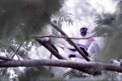 16_monkey_Silversands_Mombasa_Dec1971