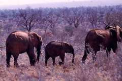50_elelphants_Tsavo_National_Park_Sept1971